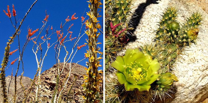 Anza-Borrego-Ocotillo-Cactus-880web