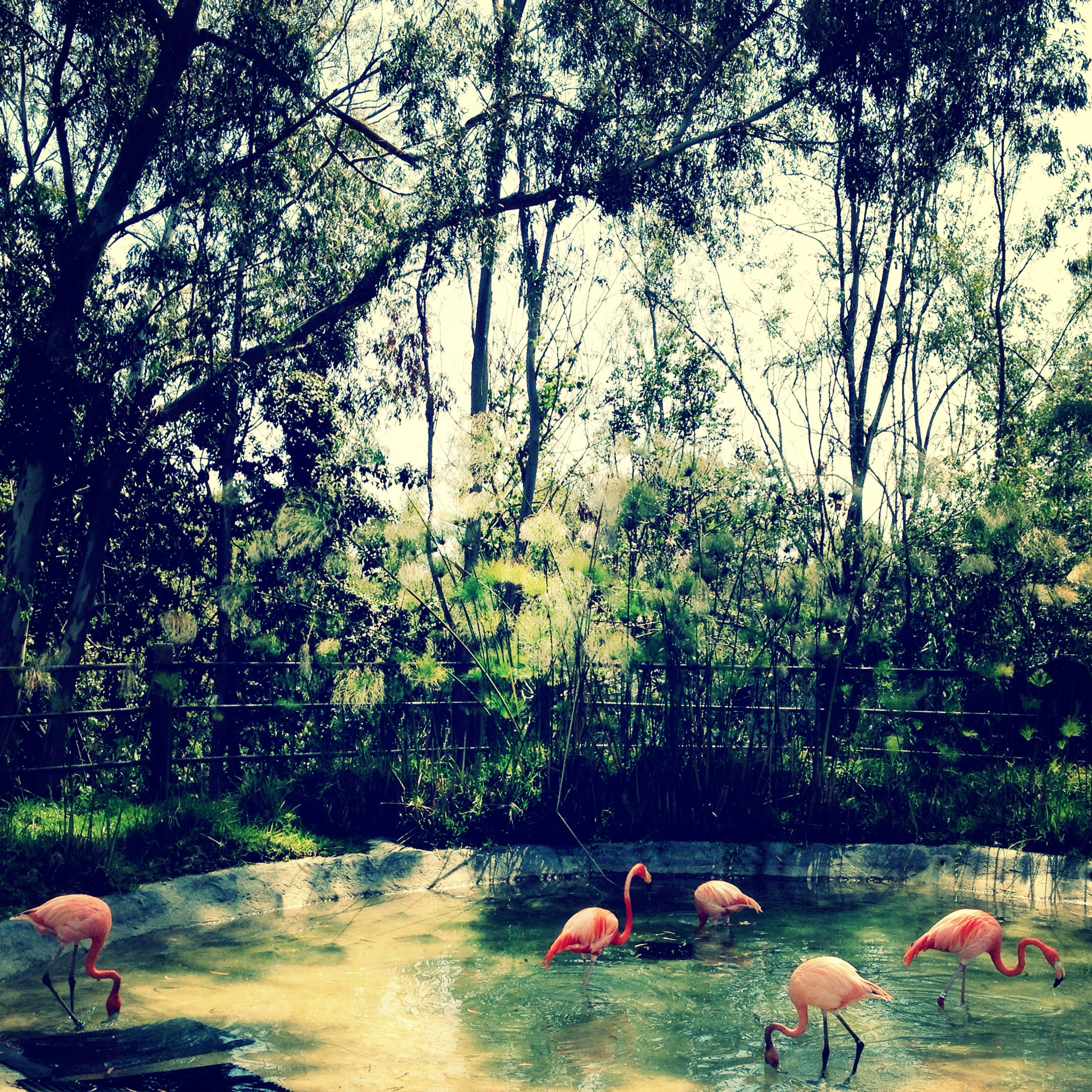 san-diego-zoo-flamingos