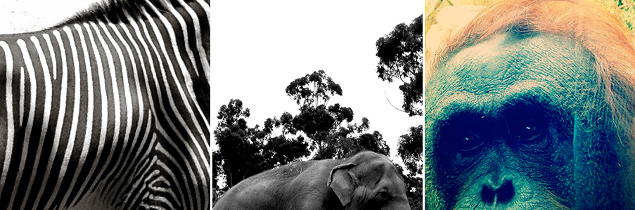 zebra-elephant-orangutang