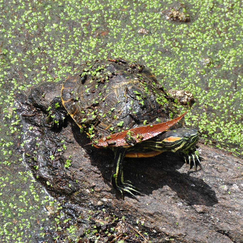 New-York-central-park-turtle